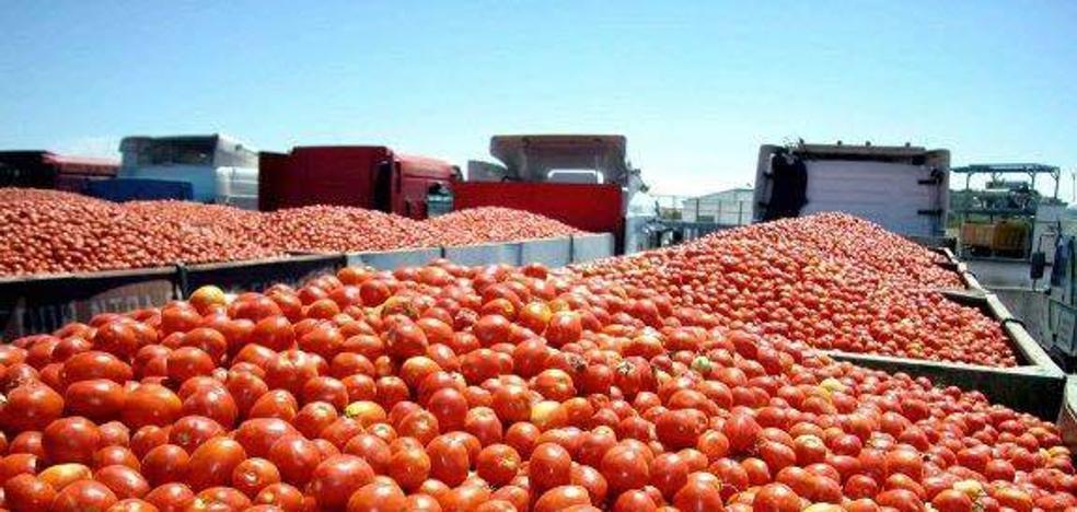 La Unión de Extremadura cifra en 450 millones de kilos de tomates las pérdidas por las altas temperaturas