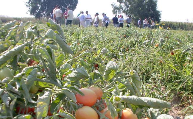 UPA-UCE prevé una pérdida del 15% en la producción de tomate por el calor