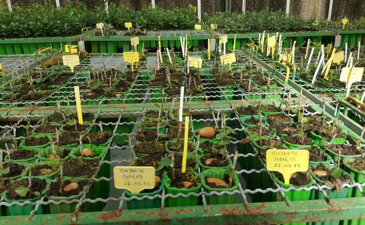 El Ministerio creará en Extremadura los primeros cultivos intensivos de bellota