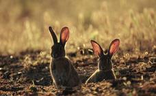 La Orden de Vedas devolverá la caza del conejo al 12 de octubre