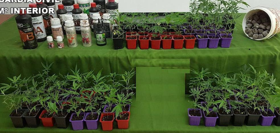 Un detenido y 98 plantas de marihuana intervenidas en la Sierra de Gata
