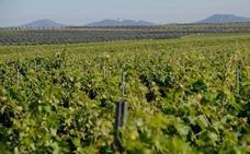 La Junta abrirá una nueva convocatoria de ayudas de reestructuración de viñedos