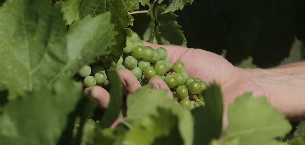 UPA-UCE prevé un campaña vitivinícola desastrosa en la región