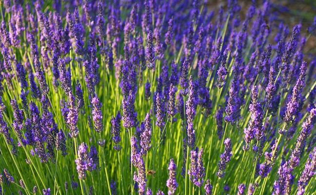 3 remedios naturales con acción sedante