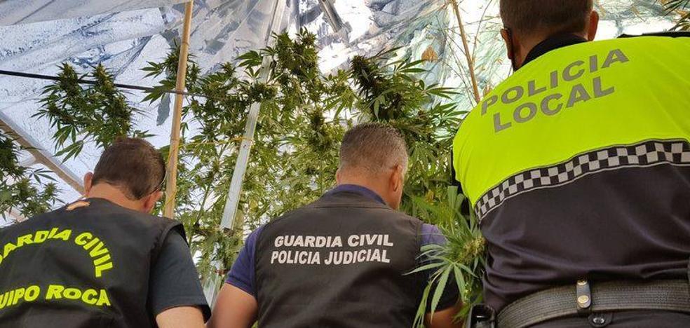 Dos detenidos en Llerena con plantas de marihuana de tres metros de alto
