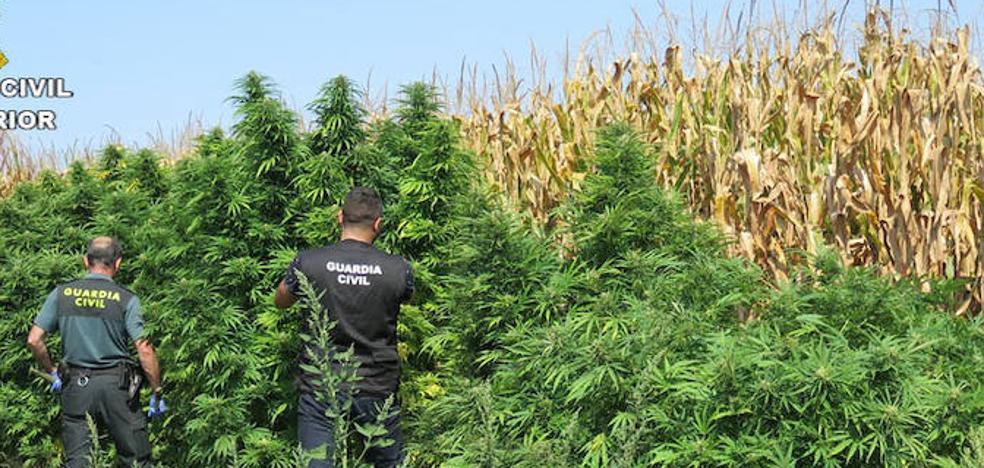 La Guardia Civil encuentra 64 plantas de marihuana en un maizal de Galisteo