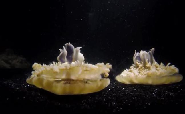 La medusa, primer animal que duerme sin cerebro