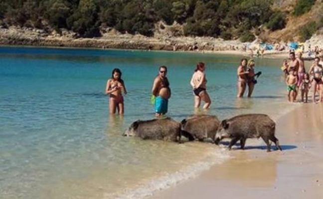 El misterio de los jabalíes en las playas cercanas a Lisboa
