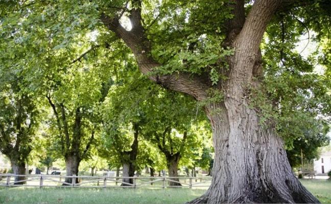Los olmos centenarios de Cabeza del Buey quieren ser Árbol del Año