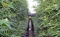 Desmantelada en La Garrovilla la mayor plantación de marihuana hallada en Extremadura
