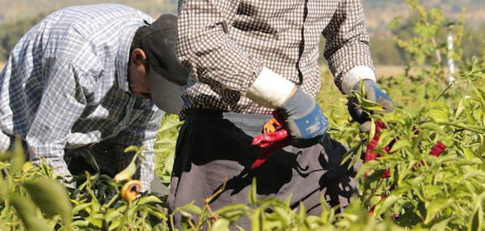 UPA pide a la Confederación del Tajo que desembalse agua para finalizar la campaña del tabaco y del pimentón