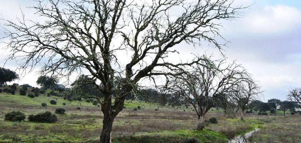 La seca, presente en el 80% de los árboles de la dehesa en los que se detectan daños