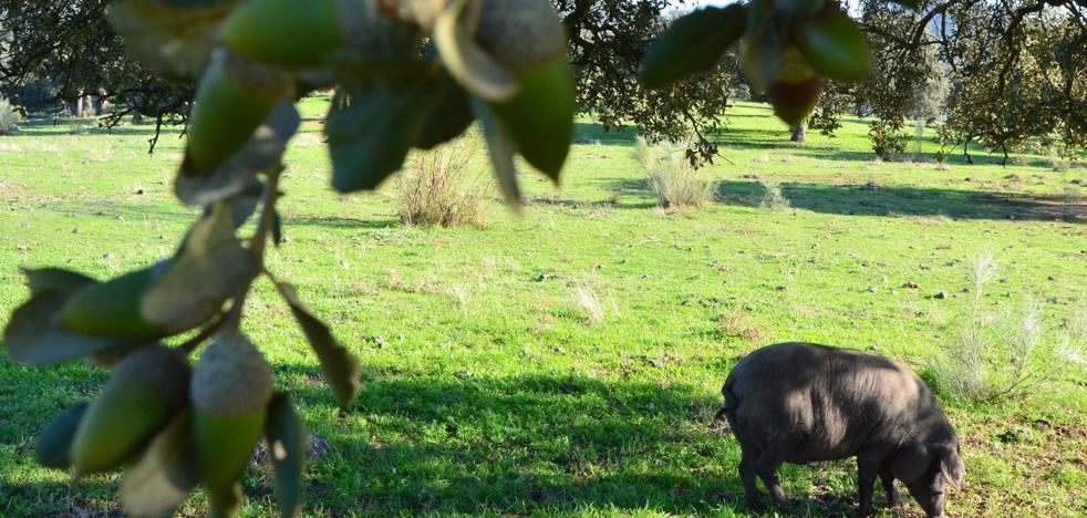 Otra etapa de bonanza para el sector del porcino