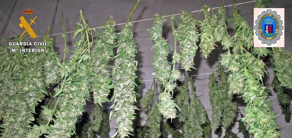 Localizan en Villafranco un invernadero para el cultivo de marihuana