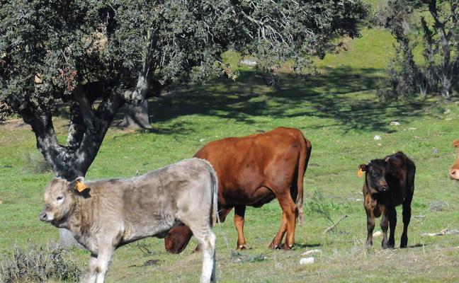 La Unión critica que se haya tardado 10 años en convencer a Europa de los pastos de la dehesa