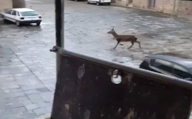 Un ciervo campea por las calles de Bohonal de Ibor
