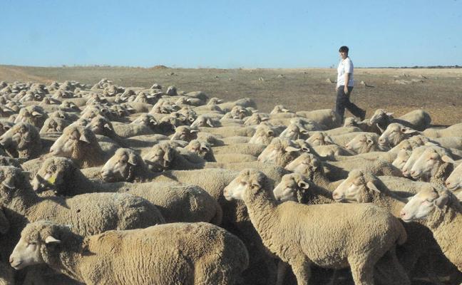 UPA muestra su preocupación por la «durísima» bajada de precios en el ovino de leche