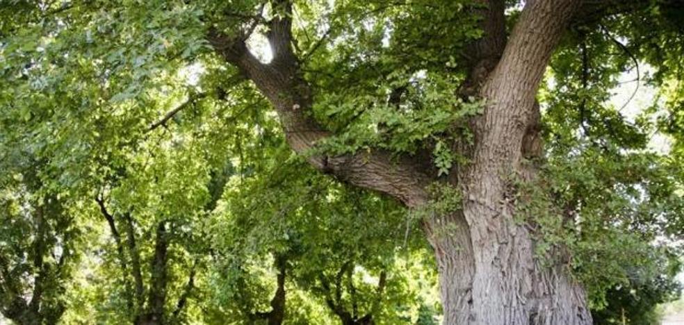 Los olmos centenarios de Cabeza del Buey, elegidos Árbol del Año de España