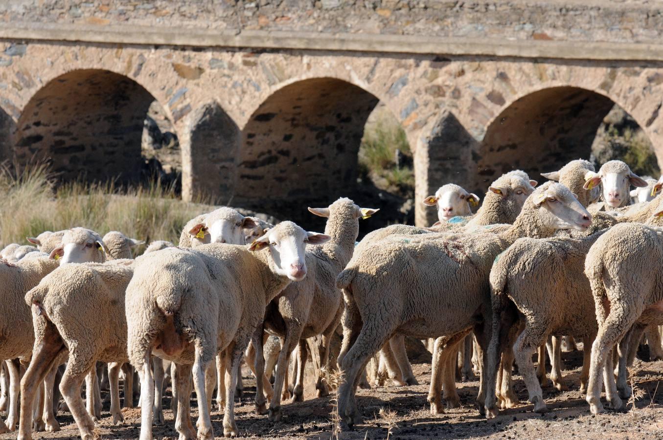 El ovino extremeños rompe fronteras