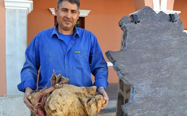 Un vecino de Villanueva del Fresno recolecta un boniato de casi 18 kilos