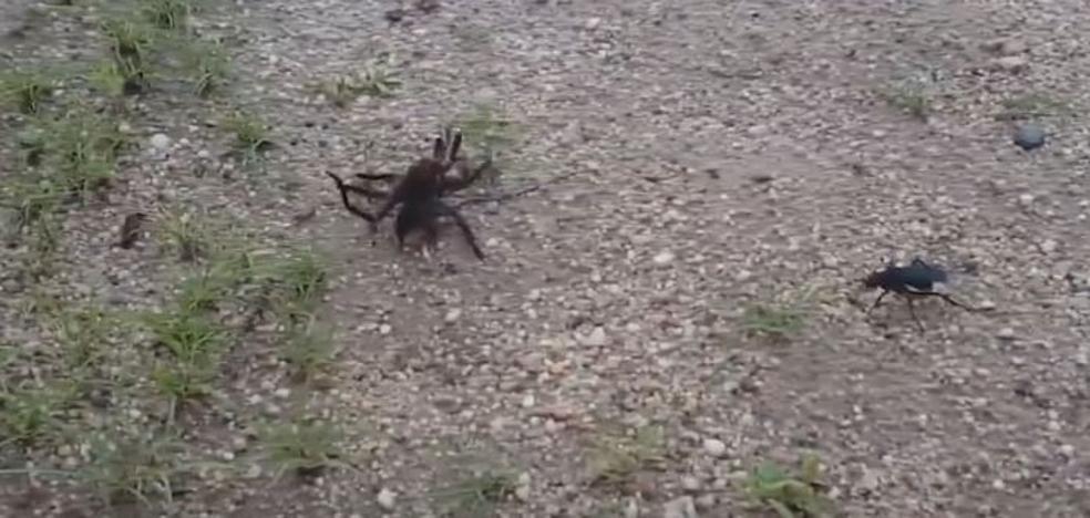 Lucha entre tarántula y avispa