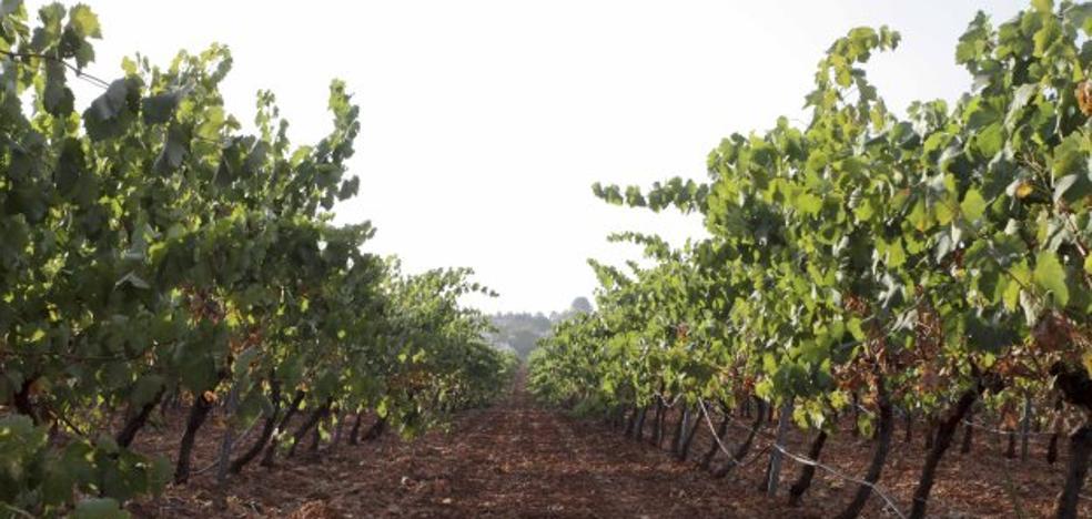 Extremadura no podrá sembrar más hectáreas de cava hasta 2020