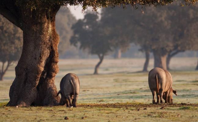 Un congreso reúne en Badajoz a 130 investigadores de las razas de cerdo graso