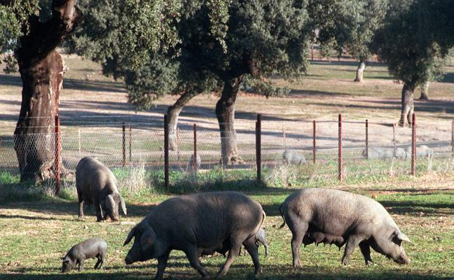 La Diputación pacense compra ibéricos en Salamanca para renovar su cabaña