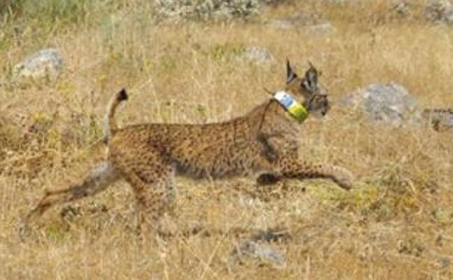 Un ejemplar joven de lince ibérico muere atropellado en Extremadura