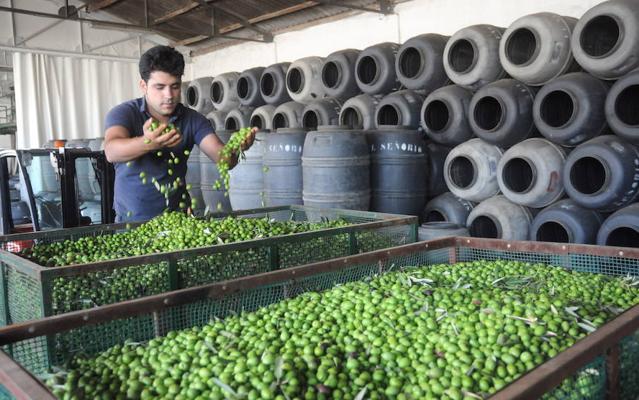 Asaja teme «graves consecuencias» para el olivar extremeño por el arancel de EE UU