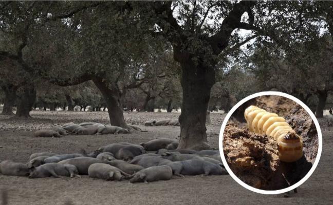La seca: el mayor enemigo del ibérico