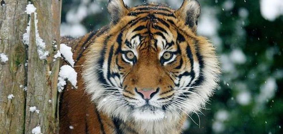 El tigre de Sumatra se aferra a la superviviencia