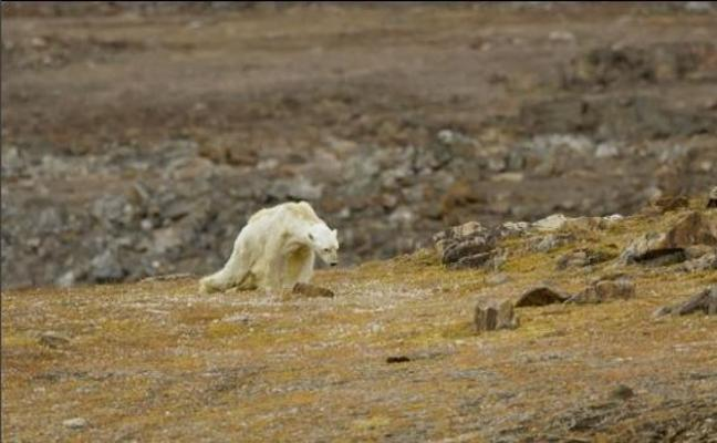 Graban la agonía de un oso polar hambriento para concienciar sobre el calentamiento del planeta