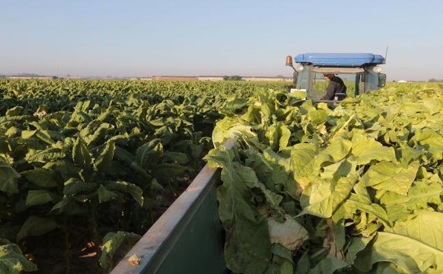 Los tabaqueros piden contratos plurianuales y precios dignos