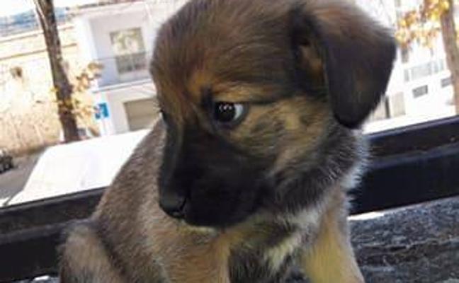 Once cachorros abandonados a las puertas de colegios y parques de Plasencia