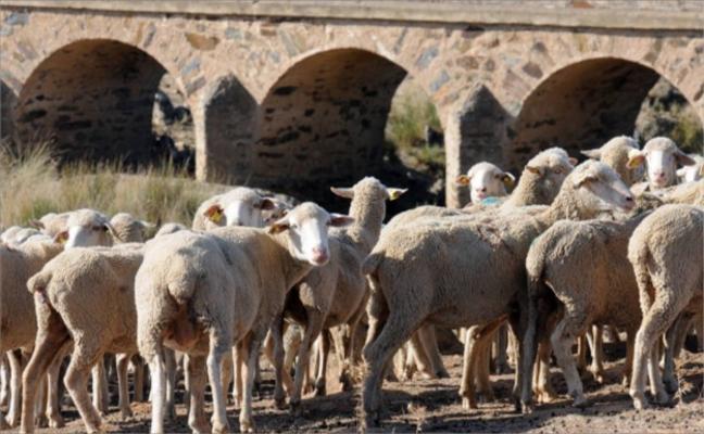 Con 3,1 millones de cabezas, Extremadura es la segunda región por producción ovina