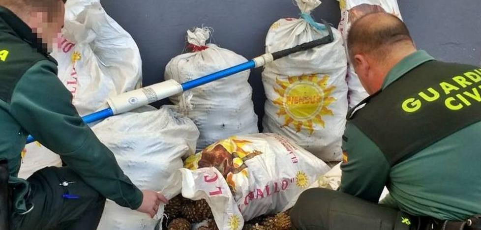 Sorprendidos mientras robaban 320 kilogramos de piñas en Fregenal