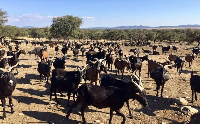 Ganaderos de La Vera ven un «atropello» las medidas de control de la tuberculosis en caprinos