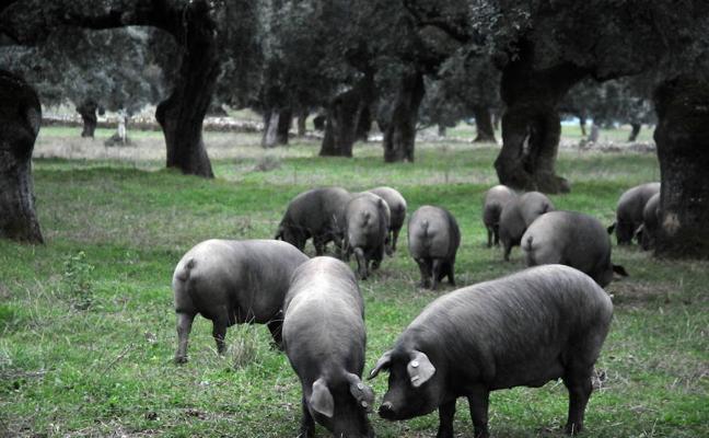 La Lonja tilda de «calumnias» las denuncias de Asaja sobre la mesa del porcino