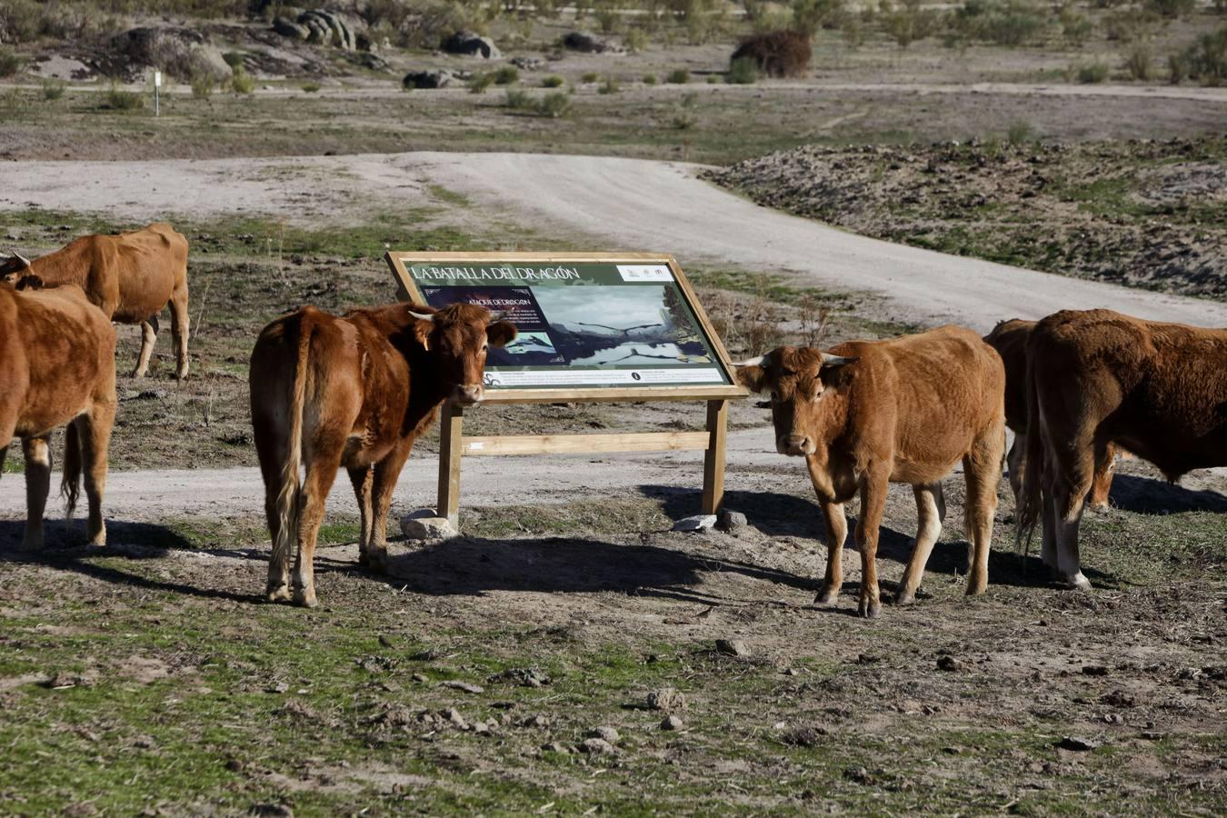 Vacas en la ruta de Juegos de Tronos en Los Barruecos