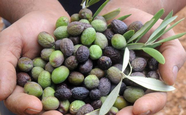 Denunciado en Almendralejo por no poder acreditar el origen de 500 kilos de aceitunas
