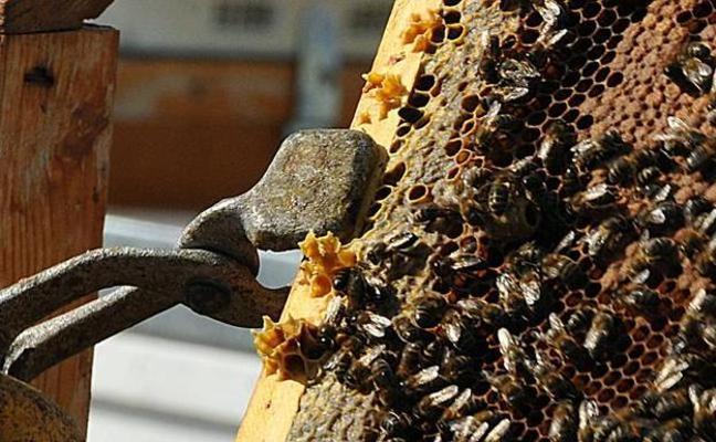 La mortandad en las colmenas de la región supera el 30 por ciento