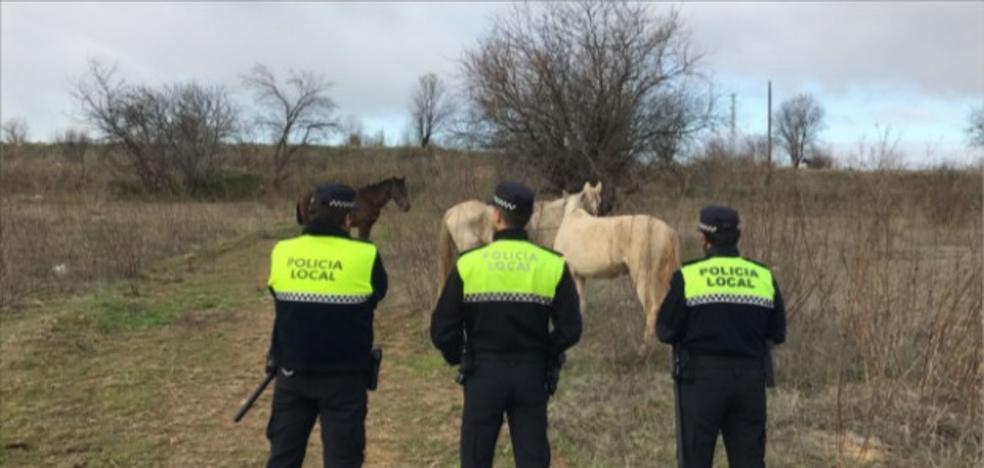 La Policía Local retira seis caballos sueltos junto a la carretera de Valverde