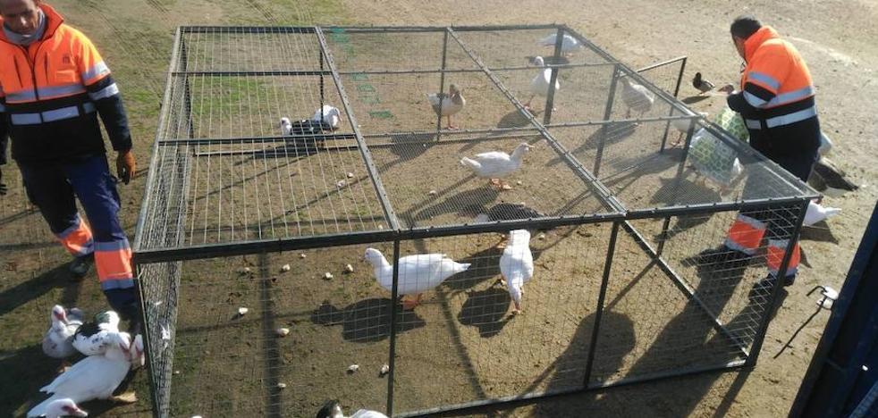 Los gansos del parque del Guadiana en Badajoz serán trasladados a Sierra de Fuentes