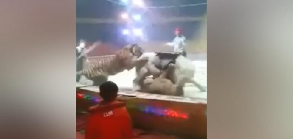 Una leona y un tigre atacan a un caballo en un circo