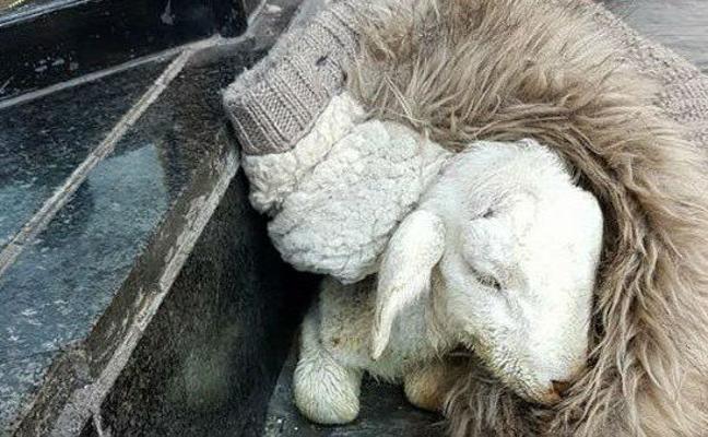 Muere una oveja en Jaén por intoxicación etílica