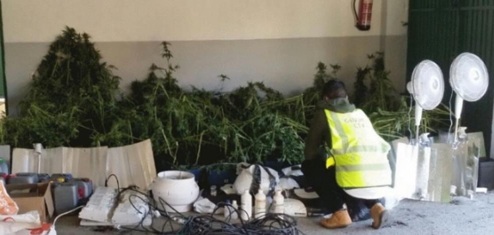 Intervienen 200 plantas de marihuana tras un desalojo en el poblado Arroyo-Malpartida