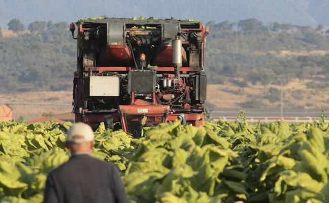 Altadis mantiene este año las compras de tabaco extremeño en 8.500 toneladas