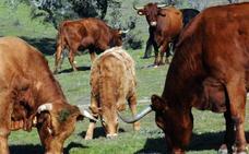 La Junta publica las ayudas para la repoblación de explotaciones por tuberculosis bovina