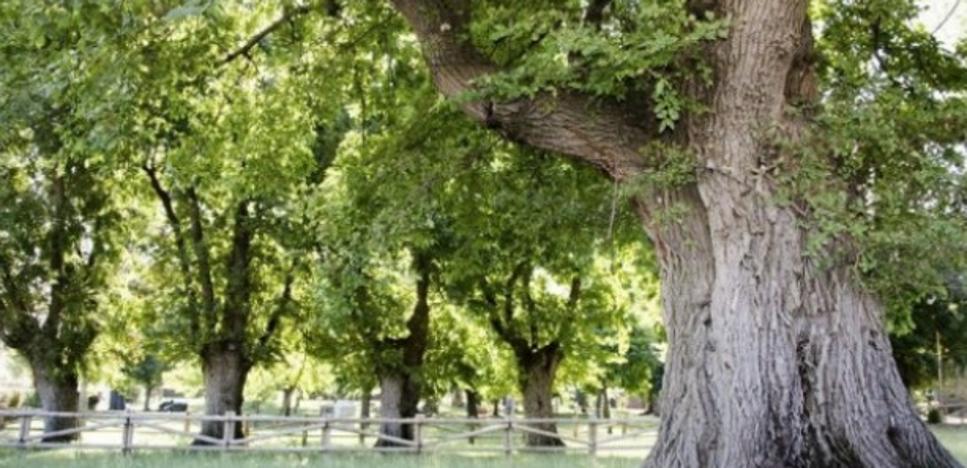 Cabeza del Buey se pone en marcha para que sus olmos sean Árbol Europeo del Año